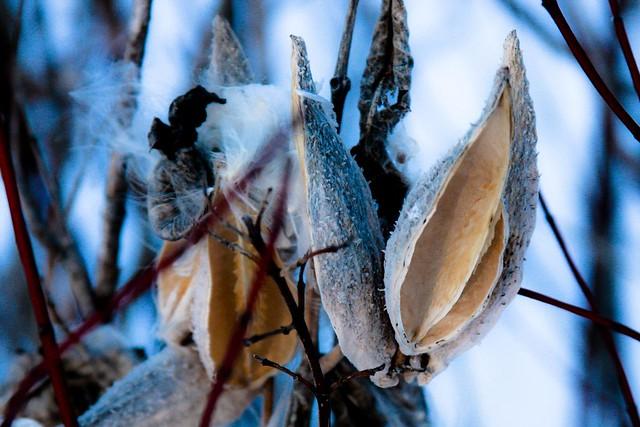 {12/365} milkweed pods (detail)