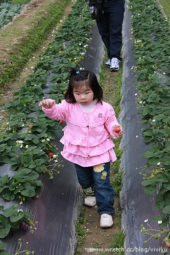 [旅遊.新竹]關西採草莓~anita初體驗 @VIVIYU小世界