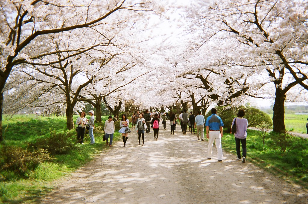 """Cherry tree lane."" A grove in 10,000 tree sprouting Tenshochi Park."