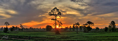 Panoramic HDR Rice Field Sunrise, Isan - Burir...