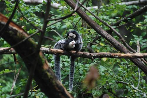 Weißkopf-Büschelaffen in der Réserve Zoologique de Calviac