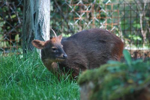 Südlicher Pudu im Zoo de Doué-la-Fontaine
