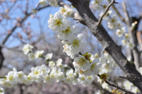 Green Plum Blossoms