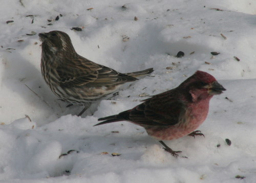 Purple Finch - pair