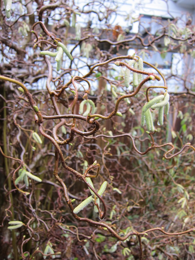 Harry lauder walking stick trees - Contorted Filbert Harry Lauder S Walking Stick Catkins