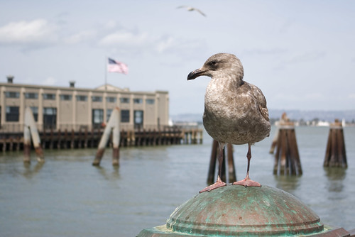 Embarcadero gull