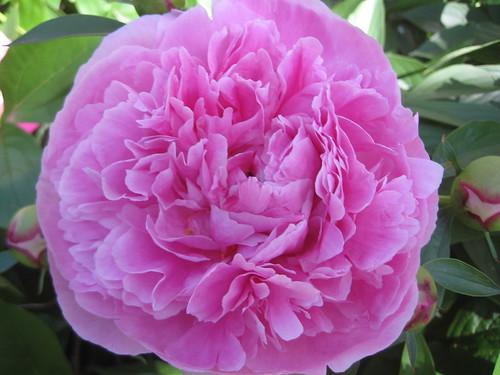Dark pink double peony