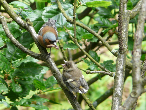Chaffinch and fledgling