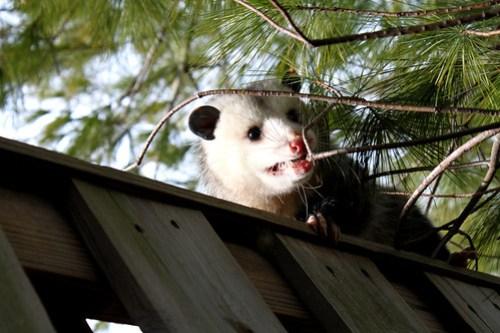 opossum encounter 11710 (8)
