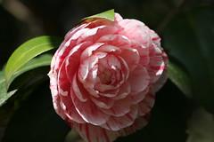氷取沢市民の森のツバキ(Camellia at Hitorizawa civic forest, Japan)