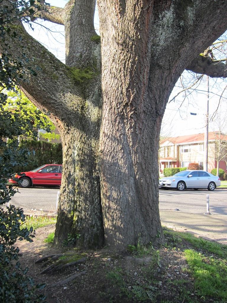 Scarlet Oak trunk