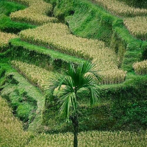 Bali / Tree / Grass por ►CubaGallery