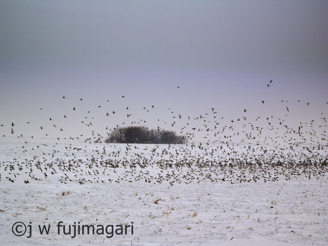 Snow Buntings In Flight
