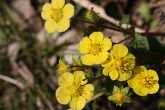 新治市民の森のキジムシロ(Potentilla fragarioides at Niiharu civic forest, Japan)