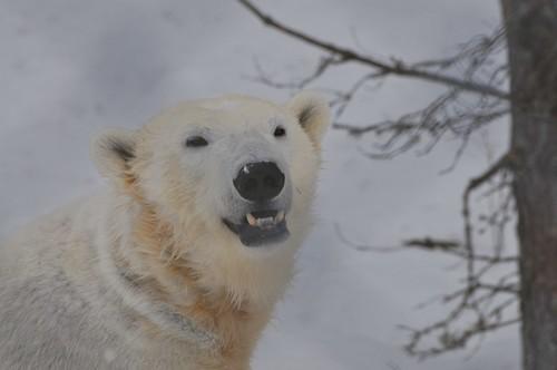 Eisbärin Ewa im Orsa Björnpark