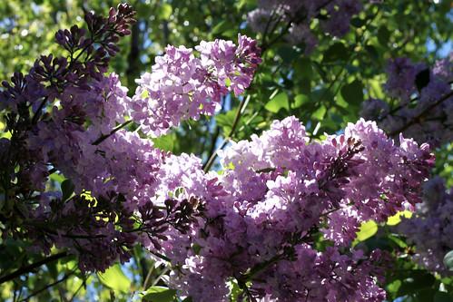 2010-Lilacs