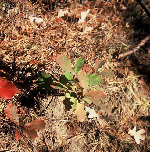 Albany Pine Bush, November 7, in Velvia