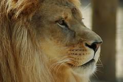 Löwe im Zoo de La Palmyre