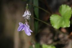 金沢自然公園のタチツボスミレ(Violet at Kanazawa Nature Park, Japan)