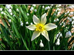 Daffodil & Summer-snowflake