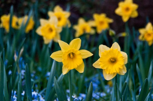 Daffodils at dusk