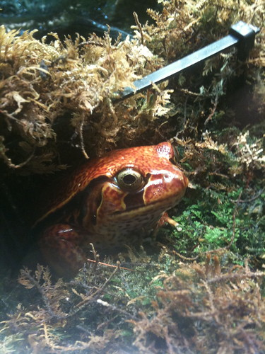 Tomato frog!