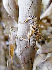Stonefly Nymph (or exuvia?)