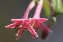 新治市民の森のウグイスカグラ(Lonicera caerulea at Niiharu civic forest, Japan)