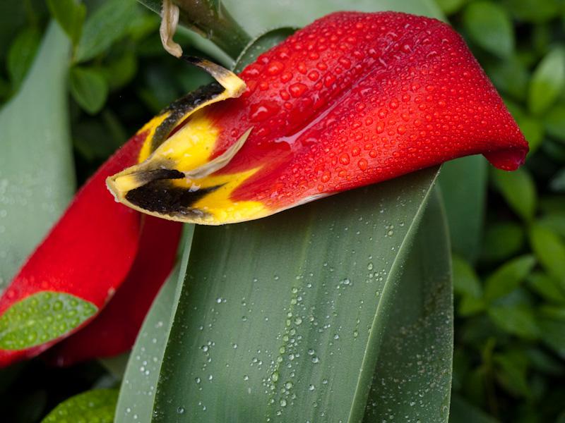 Wet Tulip Petal