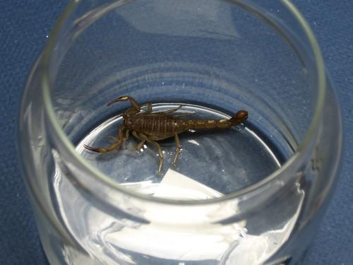Captured Scorpion