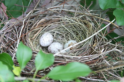 Cardinal nest with eggs