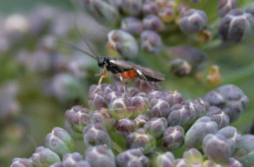 ichneumonid wasp on broccoli