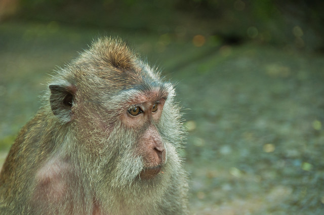 Monkey in the Monkey Forest