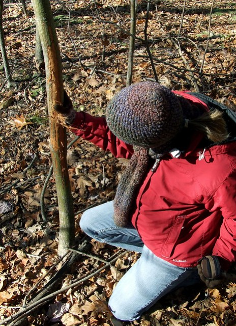 examining an anter-torn striped maple