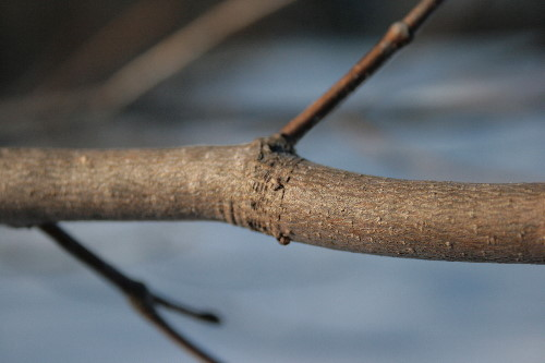 Growth rings on maple branch