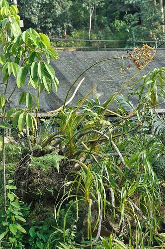 the tiger orchid {grammatophyllum speciosum}