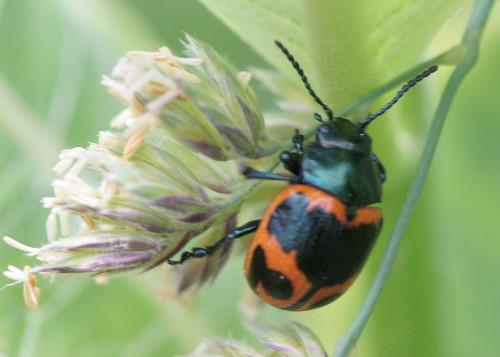 Milkweed Leaf Beetle, Labidomera clivicollis