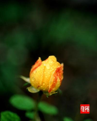 N80_Orf-Velvia50_Rosebud01