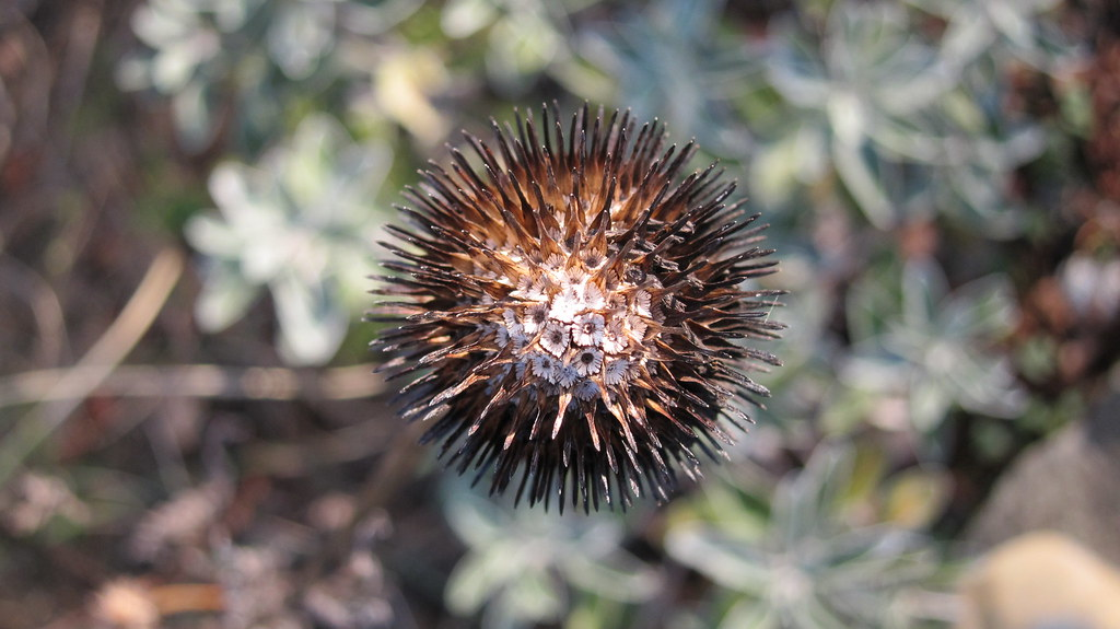Coneflower seedhead in late winter