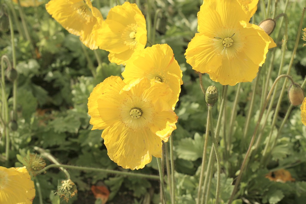 February 20: Iceland poppies