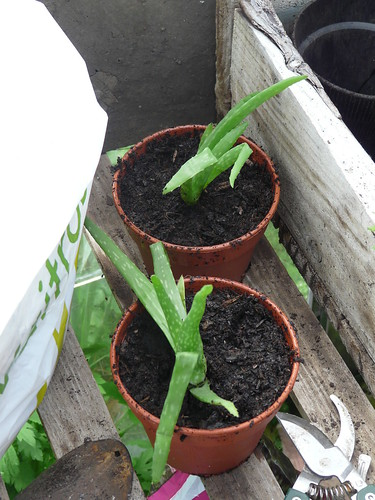 Aloe vera baby plants