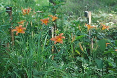 Lillies on the Hillside