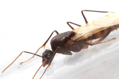 Ectatomma tuberculatum male