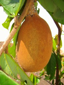 What is Cupuacu Fruit