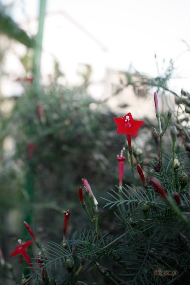 Hàng rào trước sân được leo đầy bởi cây hoa tóc tiên, vào sáng, hàng loạt hoa bung ra khoe sắc và đón nắng sáng