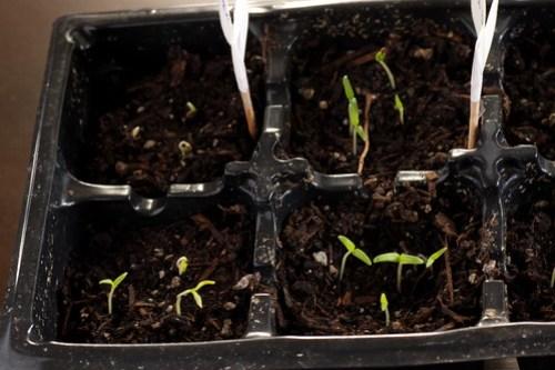 tomato sprouts 2/28