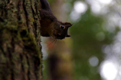 Douglas squirrel at Duthie Hill Park