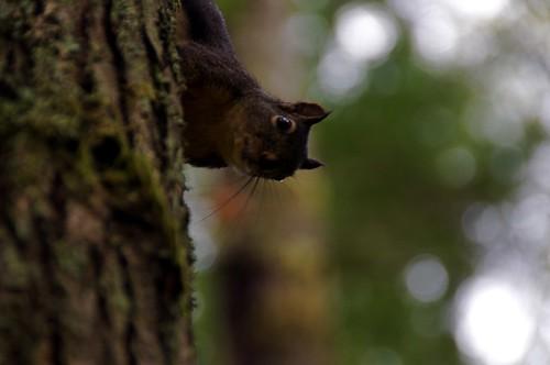 Douglas squirrel at Duthie Hill Park