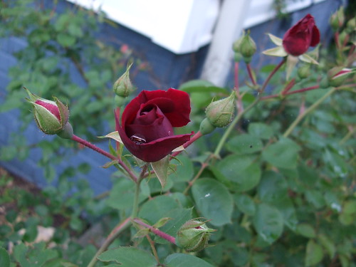 Rosebud & Raindrop