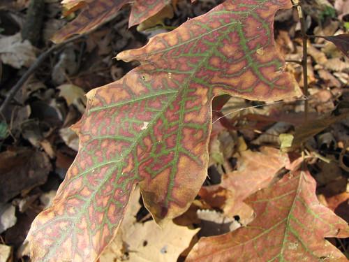 295/365 Oak Leaves